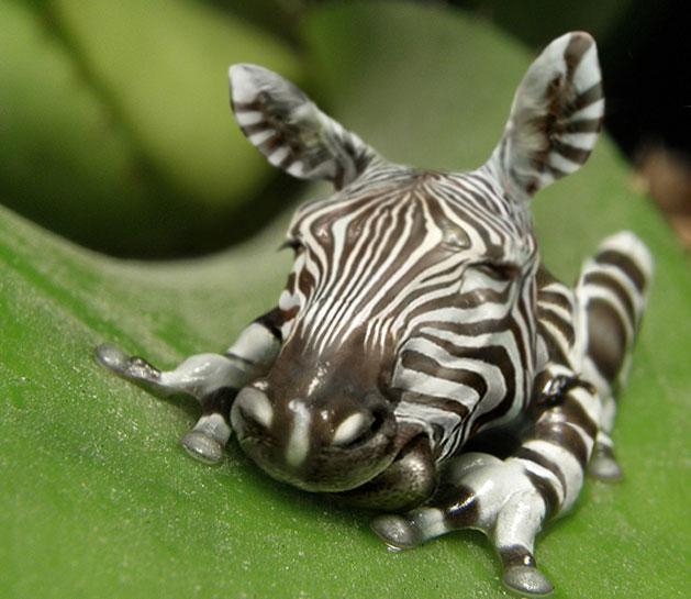 zebra00